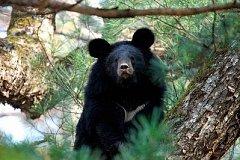 Медведя отловили в селе в Хабаровском районе