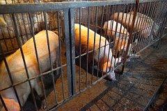 В Хабаровске африканская чума свиней набирает угрожающие масштабы