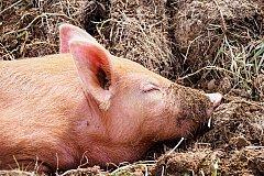 Кладбище свиней обнаружили в Хабаровском крае