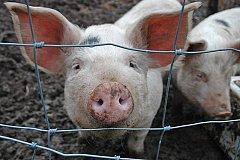 Свинину из карантинной зоны по АЧС привезли в Хабаровск